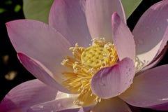 Rosa färgblommalotusblomma Royaltyfri Bild