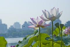 Rosa färgblommalotusblomma Fotografering för Bildbyråer