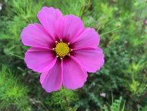 Rosa färgblommanärbild i en trädgård arkivbild