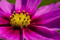 Rosa färgblomman är så härlig Royaltyfria Bilder