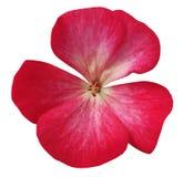 Rosa färgblommapelargon Vit isolerad bakgrund med den snabba banan Closeup inga skuggor Royaltyfria Foton