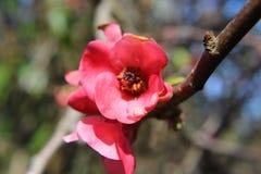 Rosa färgblommaslut upp Fotografering för Bildbyråer