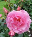 Rosa färgblommaslut upp med knoppar royaltyfri foto