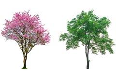 Rosa färgblommaträd Fotografering för Bildbyråer