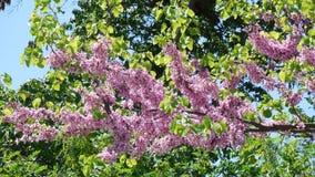 Rosa färgblommaträd Royaltyfri Foto