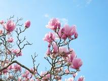 Rosa färgblommaträd med bakgrund för blå himmel Royaltyfri Fotografi
