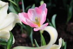 Rosa färgblommaträdgård Royaltyfria Foton
