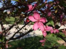 Rosa färgblommavår Arkivbilder