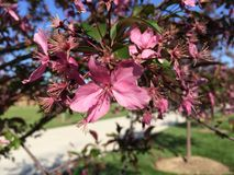 Rosa färgblommavår Arkivfoton