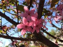 Rosa färgblommavår Arkivbild