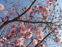 Rosa färgblommavår Arkivfoto