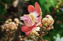 Rosa färgblommor, Cannonballträdblommor Royaltyfri Bild