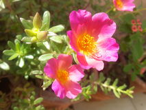 Rosa färgblommor denna vår Arkivfoton