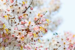 Rosa färgblommor för vita blommor som önskar trädet Arkivfoton