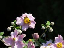 Rosa färgblommor och bin Royaltyfria Bilder