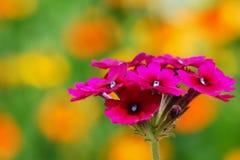Rosa färgblommor som förbi omges ut ur orange blommor för fokus Arkivfoto