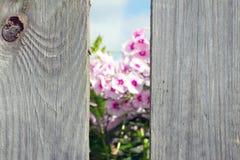 Rosa färgblommor som igenom ses ett hål i staketet Förgrund i foc Royaltyfri Fotografi