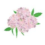 Rosa färgblommor som isoleras på vit bakgrund vektor illustrationer