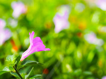 Rosa färgblommorna Royaltyfri Bild