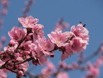 Rosa färgblomning över den blåa himlen Royaltyfria Foton