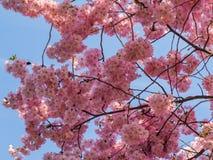 Rosa färgblomning över den blåa himlen Royaltyfri Bild