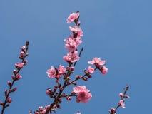 Rosa färgblomning över den blåa himlen Fotografering för Bildbyråer