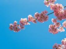 Rosa färgblomning över den blåa himlen Royaltyfria Bilder