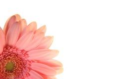 Rosa färgblomning Arkivbild