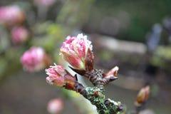 Rosa färgblomning med frost Royaltyfri Foto