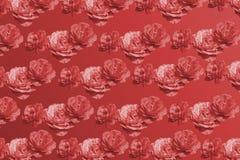 Rosa rosa färgblomning som dånar den röda mono signalen för pattermtappning royaltyfri fotografi