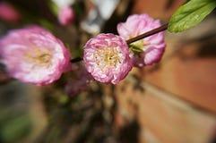 Rosa färgblomningblommor Royaltyfri Fotografi
