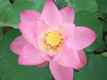 Rosa färgblomninglotusblomma Royaltyfri Foto