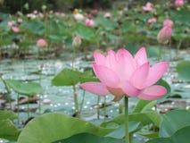 Rosa färgblomninglotusblomma Arkivbilder