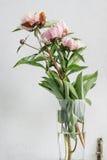 Rosa färgblomningpioner arkivfoton