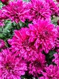Rosa färgen är en lycklig färg royaltyfri fotografi