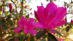 Rosa färgen blommar att blomma i solen Arkivbilder