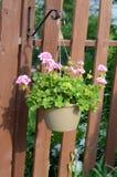 Rosa färgen blommar att hänga från en korg på ett staket i trädgården Royaltyfria Bilder