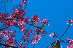 Rosa färgen blommar backgroud för blå himmel Klar sikt, körsbärsröd blomning fotografering för bildbyråer