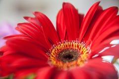 Rosa färgen blommar den röda gerberaen Arkivfoto
