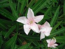Rosa färgen blommar efter regnen Arkivbild