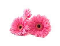 Rosa färgen blommar gerberaen som isoleras på en vit bakgrund Royaltyfria Bilder