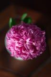 Rosa färgen blommar (hyacinten) med solsken Royaltyfria Bilder