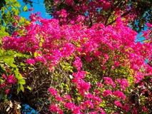 Rosa färgen blommar i morgonen 01 Arkivfoton