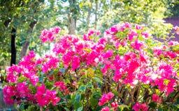 Rosa färgen blommar i morgonen 03 Arkivfoto