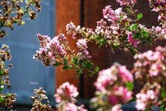 Rosa färgen blommar i solen Arkivfoton