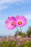 Rosa färgen blommar kosmos Arkivbild