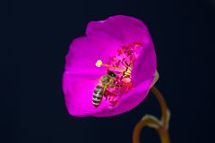 Rosa färgen blommar med biet, lång stigma och ståndarknappar Royaltyfri Fotografi