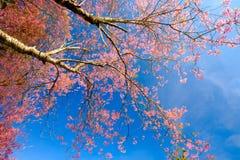 Rosa färgen blommar med blå himmel på Thailand Arkivbilder