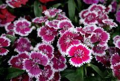 Rosa färgen blommar med den vita kanten Arkivfoton