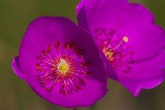 Rosa färgen blommar med långa stigma och ståndarknappar Arkivbilder
